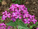 Lunaria annua Flower Seeds from Ukraine
