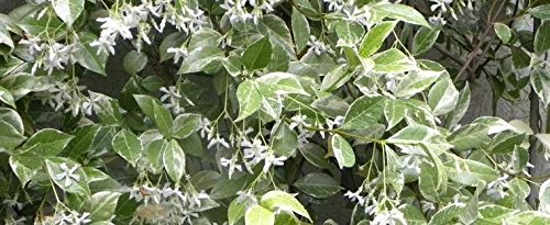 Confederate Jasmine Variegated - 60 Live Plants - Trachelospermum Jasminoides Variegatum - Fragrant Blooming Evergreen Vine by Florida Foliage (Image #6)