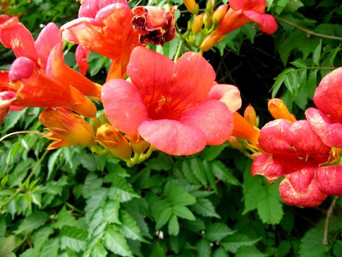 Chinese Trumpet - Campsis Grandiflora Chinese Trumpet Vine Deciduous Creeper Climbing 100 Seeds