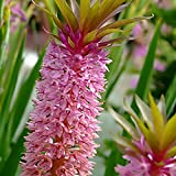 Pink and Purple Pineapple Lily Tugela Gem, 3 Large Eucomis Bulbs - Gorgeous Blooms!