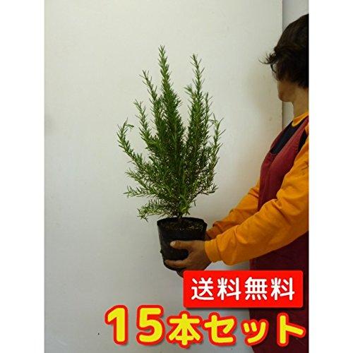 【ノーブランド品】ローズマリー樹高0.2m前後15cmポット【15本セット】 B00W4VVR4G