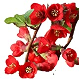 "Texas Scarlet Flowering Quince - 2 1/2"" potted Chaenomeles japonica 'Texas Scarlet' - 6""- 12"" Tall Healthy Shrub/Bush - 3 Pack by Growers Solution"