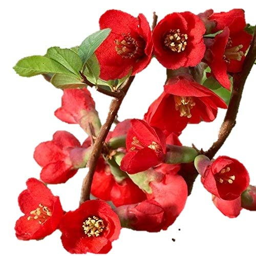 (Texas Scarlet Flowering Quince - 2 1/2