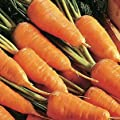 Chantenay Red Core Carrot Seeds - 200+ Rare Non-GMO Organic Heirloom Vegetable Garden Seeds in FROZEN SEED CAPSULES for the Gardener & Rare Seeds Collector - Plant Seeds Now or Save Seeds for Years