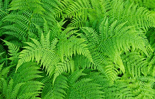 Lady Fern 1020 Spores (Seeds FILIX FEMINA Cold, Hardy, Large UP to 3