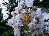 35 WHITE CREPE MYRTLE Lagerstroemia Flowering Shrub Bush Small Tree Seeds