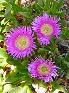 frostharte Zierpflanze Saatgut leckere Hottentottenfeige Carpobrotus edulis