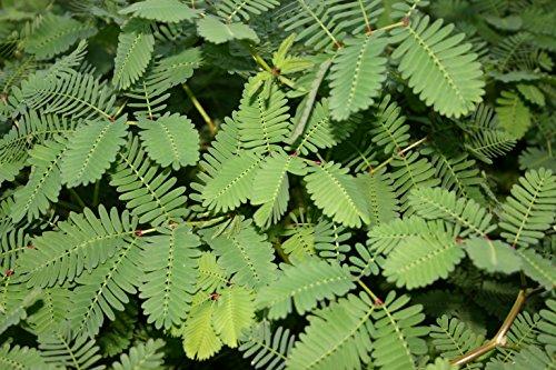 POND PLANT, SENSITIVE PLANT (3 live plants) ()