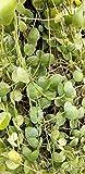 1 Dischidia platyphylla Sister Genus Hoya Cutting