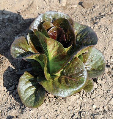 David's Garden Seeds Lettuce Breen D118 (Red) 100 Organic Seeds