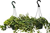 3 English Ivy Variety - 6'' Pot Hanging Pots - Live House Plant - FREE Care Guide - Great Ground Cover