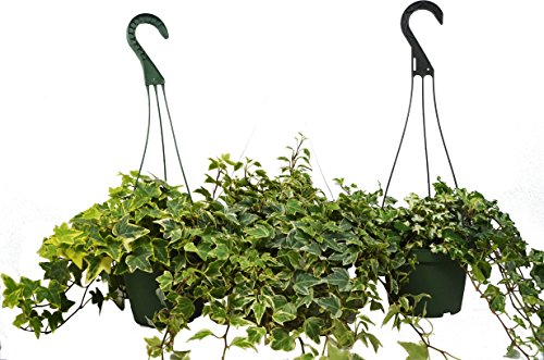 3 English Ivy Variety - 6'' Pot Hanging Pots - Live House Plant - FREE Care Guide - Great Ground Cover by House Plant Shop
