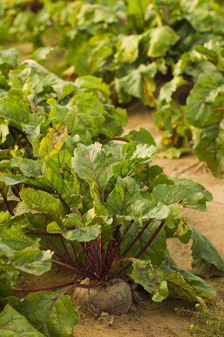 5 Lb Sugar Beet Food Plot 50,000 Seeds Bulk Excellent Deer Food Plot by OrOlam (Image #3)