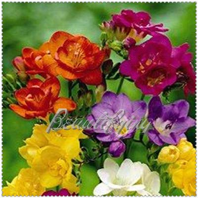 (200 Pcs Mix Colors Freesia Bonsai Garden Freesia Bulbs Flower Bonsai Flower Flowers Orchid Freesia Rhizome Bulbous Flowers - (Color: 1))