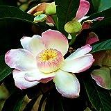 TARA-GARDEN 5 seeds Gustavia-Augusta-rare-lotus-from-paradise-shrub-stunning-flower-fresh-seed