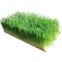 Organic Barley Seeds - 1 Lbs - Whole (Hull Intact) Barleygrass Seed - Ornamental Barley Grass, Juicing - Grain for Beer Making, Emergency Food Storage & More (1lb)