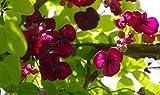 10 seeds - Akebia quinata Seeds- Chocolate Vine, Raisin Vine, Five-Leafed Akebia !