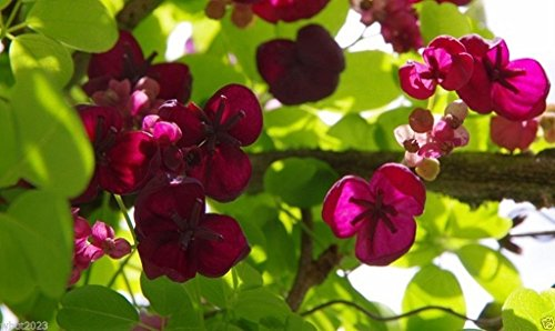 10 seeds - Akebia quinata Seeds- Chocolate Vine, Raisin Vine, Five-Leafed Akebia (Chocolate Vine)