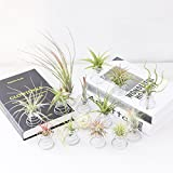 20 Pack Air Plant Stand Container Tillandsia
