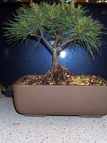 LOU'S BONSAI NURSERY WHITE PINE BONSAI TREE (NEW ITEM)