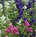 David's Garden Seeds Flower Salvia Marble Arch Mix II SV184 (Multi) 100 Open Pollinated Seeds