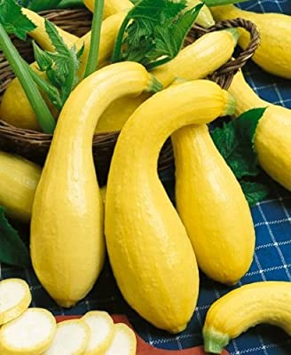 Summer Crookneck Early Squash Seeds - 4 grams