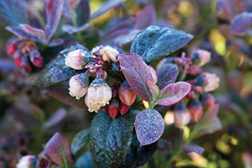 Bushel and Berry - Vaccinium Pink Icing (Blueberry) Edible-Shrub, , #2 - Size Container by Green Promise Farms (Image #4)