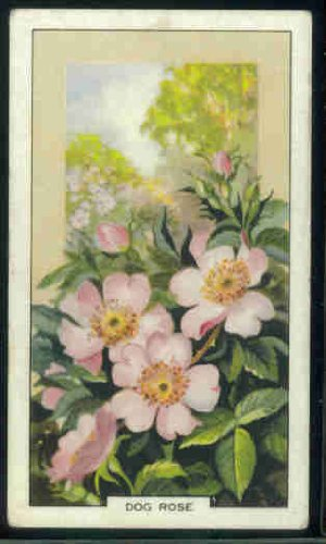(Dog Rose 1939 Gallaher Cigarettes Wild Flowers #1 (VG))