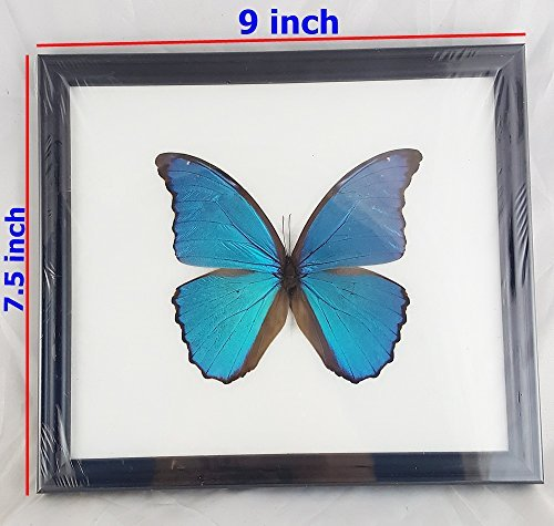 Angelwing Real Morpho Blue Butterfly Didius Peruvian Taxidermy Insect Mounted Frame Wings...