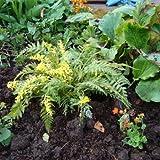 Outsidepride Corydalis Manchu - 200 Seeds