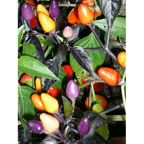 "BOLIVIAN RAINBOW ~Tasty Ornamental hot Pepper~ ""Capiscum Annuum"" 10+ Annual Seeds"