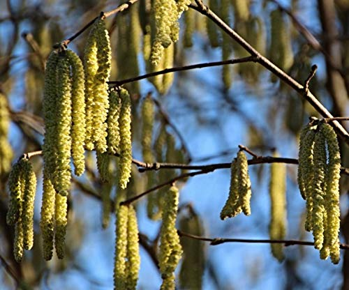 Corylus colurna aus Bolu//T/ürkei T/ürkische Haselnuss 5 frische Baumhasel Nuss samen