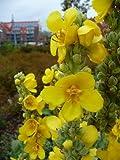 150 YELLOW VERBASCUM (Common Mullein) Verbascum Thapsus Flower Seeds