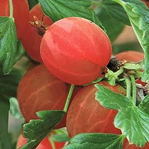 Color Grosella hinnonmaki rojo