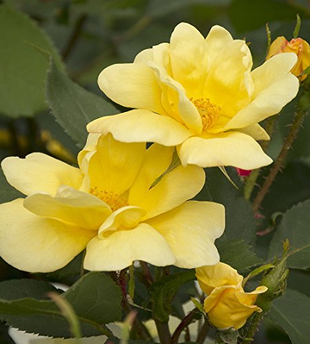 'Sunny Knock Out' Rose - Disease Resistant -Yellow Blooms - 4