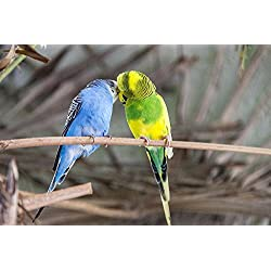 Gifts Delight LAMINATED 36x24 inches POSTER: Budgie Bird Colorful Parakeet Animal World Plumage Bill Yellow Green Blue Cute Feed Wildlife Photography Pets Small Bird Food Branch Animals