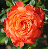 "Mandarin Sunblaze Miniature Rose Bush - Fragrant/Hardy - 4"" Pot"