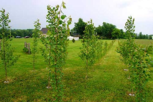 10 Rooted Fast Growing Hybrid Poplar Trees - 14-18 inches Tall - Fast Growing - Get Privacy and Shade Very Fast with These Easy to Grow and Attractive Trees. by CZ Grain (Image #2)