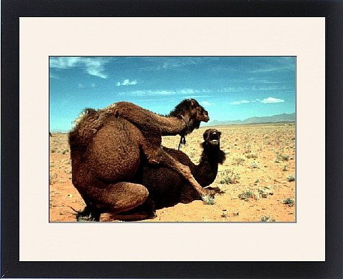 Framed Print of Dromedary CAMELS - mating by Prints Prints Prints