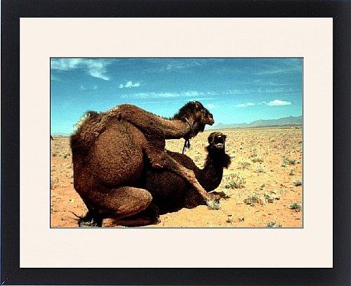 Framed Print of Dromedary CAMELS - mating by Prints Prints Prints
