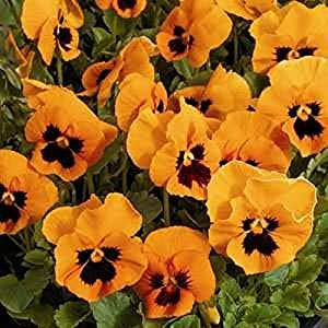Pansy- Flame- 50 Seeds - 50 % off sale