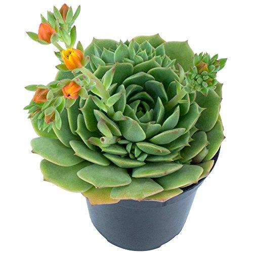 Altman Plants Assorted Live Tray mini succulents bulk for planters, 2.5'', 32 Pack by Altman Plants (Image #8)