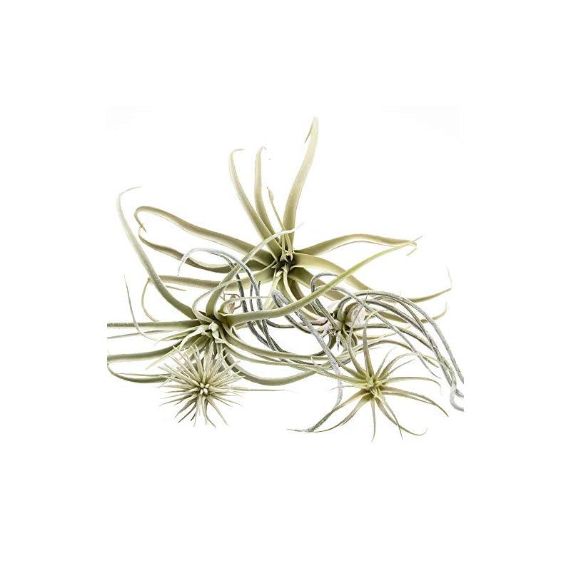 silk flower arrangements chive - set of 5 fake artificial faux tillandsia air plants bromeliads for indoor/outdoor garden and home decor, terrarium decorations, arrangements, and display (large)