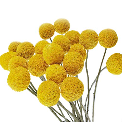 Color Life 20 Stems Natural Dried Flower - Craspedia/Billy ()