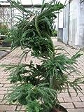 Hahnenkamm Sicheltanne Cryptomeria japonica Cristata 100 cm hoch im 10 Liter Pflanzcontainer