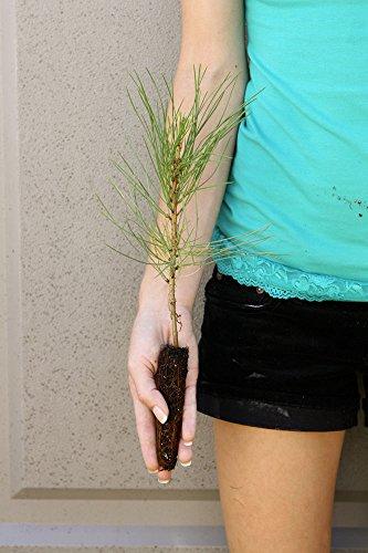 TreesAgain Ponderosa Pine Tree(s) - Pinus ponderosa - 4 to 7+ inches