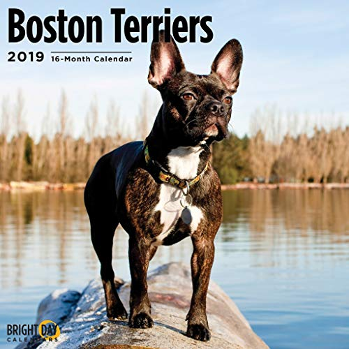 2020 Boston Terriers Calendar 16 Month 12 x 12 Wall Calendar by Bright Day Calendars (Terriers Collection) (Boston Terriers 2019)
