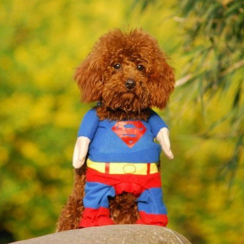 Funny Superman Costume (Alfie Pet by Petoga Couture - Superhero Costume Superman - Size:)