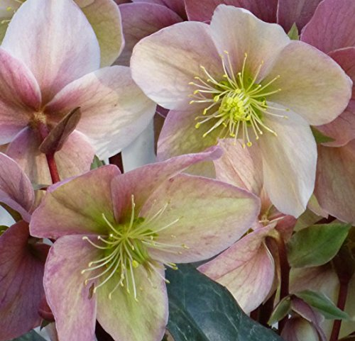Helleborus 'Winter Sunshine' 15cm pot size Imberhorne Lane Nursery