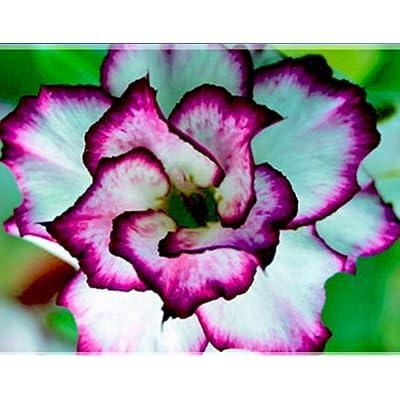 ADB Inc 2 Seeds / Pack, Adenium Obesum 'Doksawai' Desert Rose Flower Seeds : Garden & Outdoor